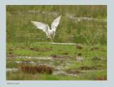 Ross's Gull - (Rhodostethia rosea)