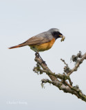 Redstart-Phoenicurus phoenicurus