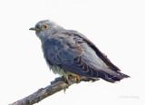 Female Cuckoo