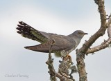 Male Cuckoo sings from a very near tree.