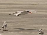 Caspian Tern (Hydroprogne caspia