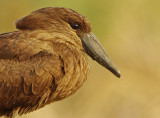 Hamerkop (Scopus umbretta)