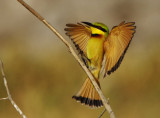 Little Bee-eater - (Merops pusillus)