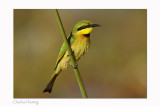 Little Bee-eater - (Merops pusillus)