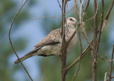 Spotted Dove - Spilopelia chinensii