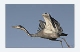 Black - headed Heron - Ardea melanocephala