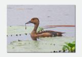 Lesser Whistling Duck - Dendrocygna javanica
