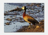 White-faced Whistling Duck (Dendrocygna viduata)