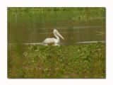 Spot-billed Pelican Pelecanus philippensis