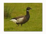 Black Brent Goose (Branta bernicla nigricans)
