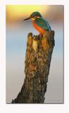 Kingfisher- Alcedo athis