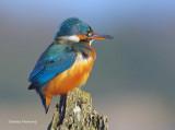 kingfishers_2015