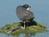 Red-knobbed Coot -  (Fulica cristata)