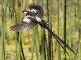 Pin-tailed Whydah - Vidua macroura