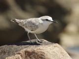 White-fronted plover - Charadrius marginatus)