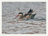 Red-billed teal (Anas erythrorhyncha)