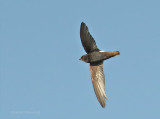 Little swift - Apus affinis, South Africa