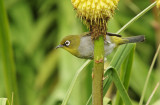 Cape White-eye, Zosterops pallidus,