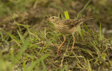 Paddyfield pipit, or Oriental pipit -  Anthus rufulus