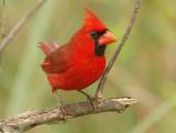 Northern Cardinal -Cardinalis cardinalis