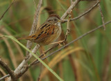 Swamp sparrow -Melospiza georgiana