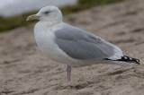 American Herring Gull - Larus argentatus smithsonianus)