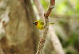 Black-necked Weaver -   Ploceus nigricollis