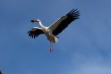 White Stork (Ciconia ciconia)