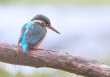 kingfisher_2016