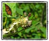 Viceroy larva (Limenitis archippus)