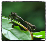 Mating robber flies (Asilidae)