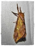 Gold-spotted ghost moth ( Sthenopis auratus), #0022