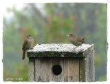 House wrens