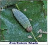 Dreamy duskywing skipper larva (Erynnis icelus)