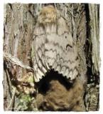 Tussock Moths (Family: Erebidae, Subfamily: Lymantriinae) 8294 to 8319