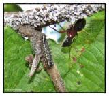 Harvester butterfly larvae (Feniseca tarquinius)