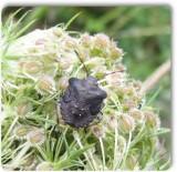 Stinkbug nymph (Euschistus?)