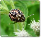 Stinkbug nymph (Pentatomidae)