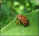 Predatory stinkbug (Podisus sp.)