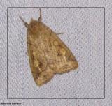 Pale enargia (Enargia decolor), #9549