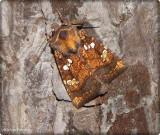Borer moth   (Papaipema)