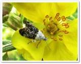 Metalmark moth (Caloreas leucobasis), #2641