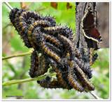 Mourning cloak butterfly larvae (Nymphalis antiopa)