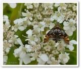 Skullcap skeletonizer moth (Prochoreutis inflatella), #2629