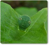 Canadian tiger swallowtail larva (Papilio canadensis)