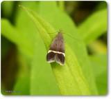 Twirler moth (Anacampsis agrimoniella), #2230