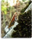 Painted lichen moth  (Hypoprepia fucosa) laying eggs, #8090