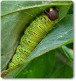 Silver-spotted skipper larva (Epargyreus clarus)