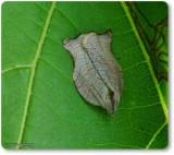 Omnivorous leafroller moth (Archips purpurana), #3658