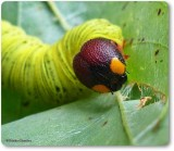 Butterfly Larvae and Pupae